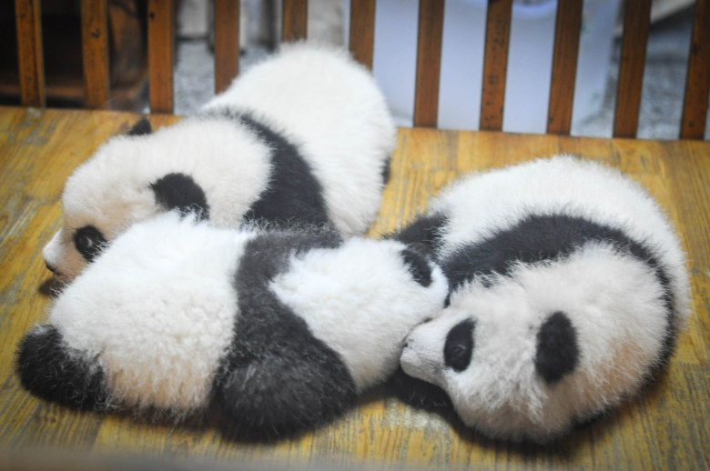 Cute Baby Pandas in Crib | Verve